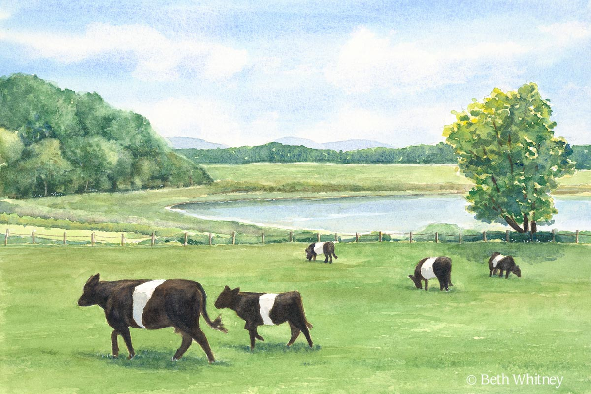 """""""Follow the Leader,"""" painting of Belted Galloway Cows at Aldermere Farm in Camden, Maine 