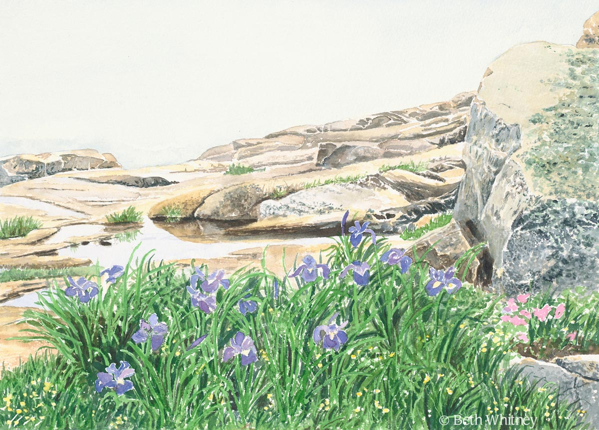 Original painting by Beth Whitney of purple irises in the fog at Schoodic Point, Maine | DowneastWatercolors.com