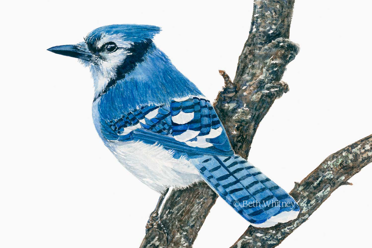 Watercolor painting of a Blue Jay  by artist Beth Whitney   Downeast Watercolors