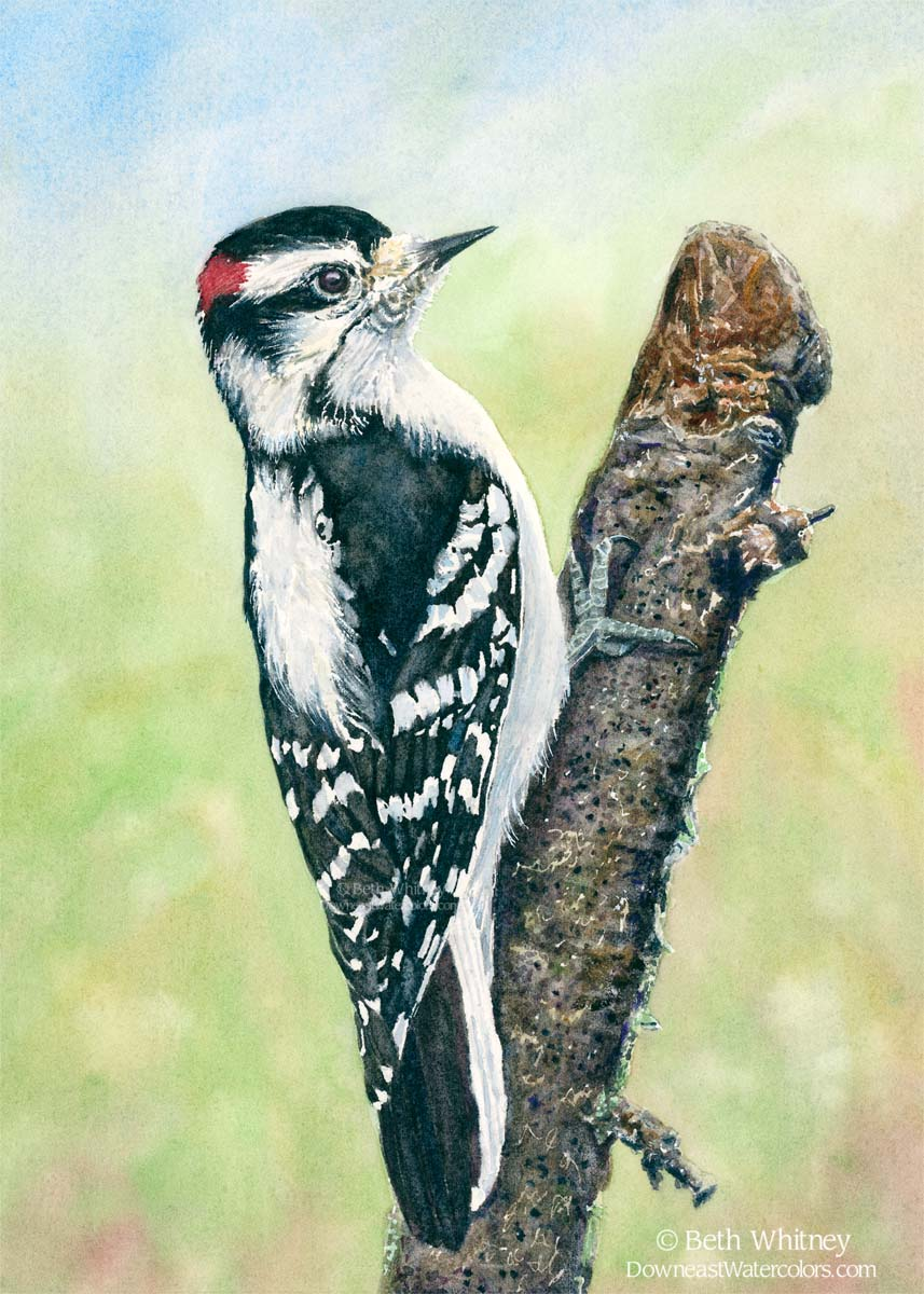 Red, black, and white downy woodpecker perches on a branch.