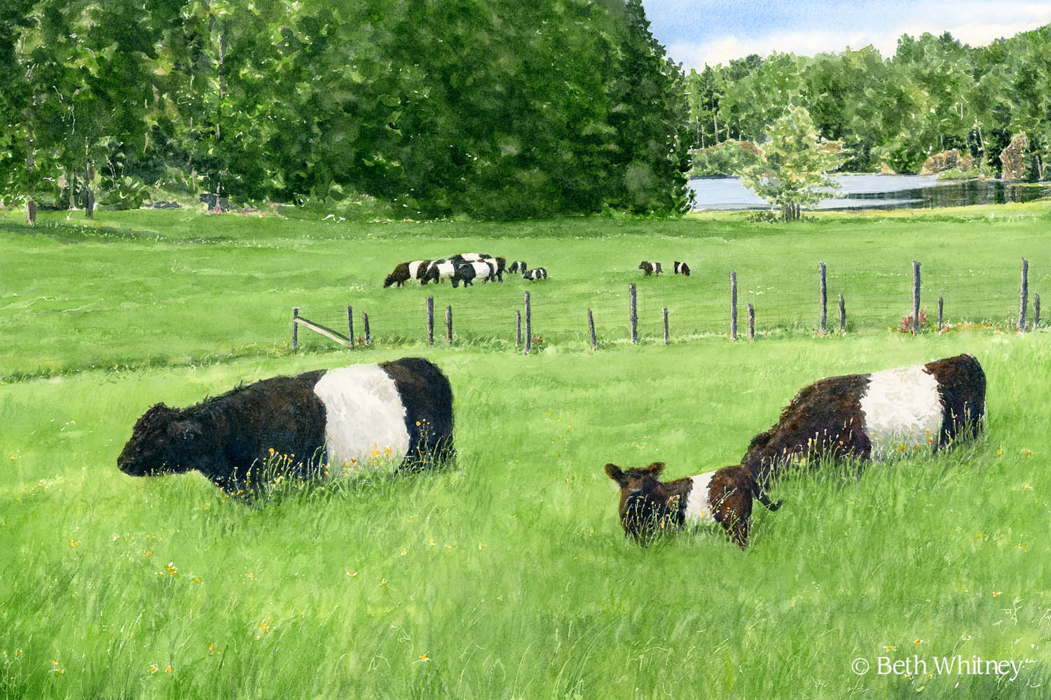 Watercolor painting of Belties at Aldermere Farm by artist Beth Whitney